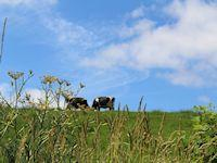 Image of cows in a meadow